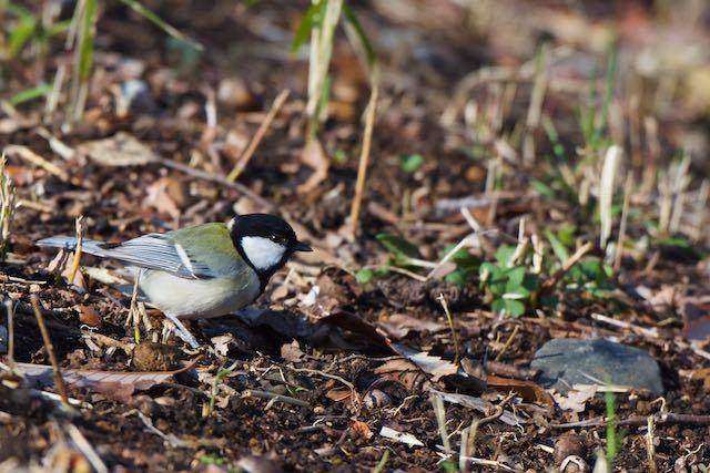 舞岡公園 地面で食べ物を探すシジュウカラ _DSC4064.jpg