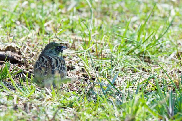 舞岡公園 地面に降りて採食するアオジ2 _DSC4171.jpg