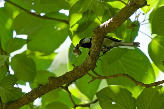 舞岡公園 大きな蛾の幼虫を料理するシジュウカラ _DSC7238.jpg