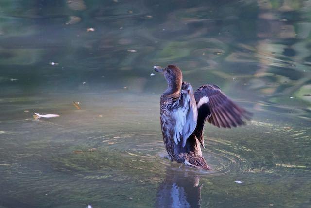 舞岡公園 大原沖池で4羽確認出来たコガモ _DSC6945.jpg