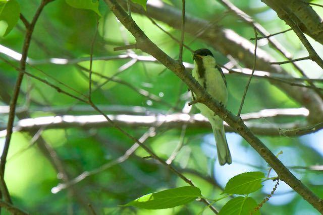 舞岡公園 小さな幼虫を咥えたシジュウカラ幼鳥 _DSC7205.jpg