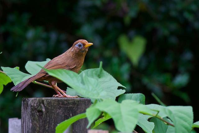 舞岡公園 小谷戸池の垣根の柱に止まるガビチョウ _DSC1768.jpg