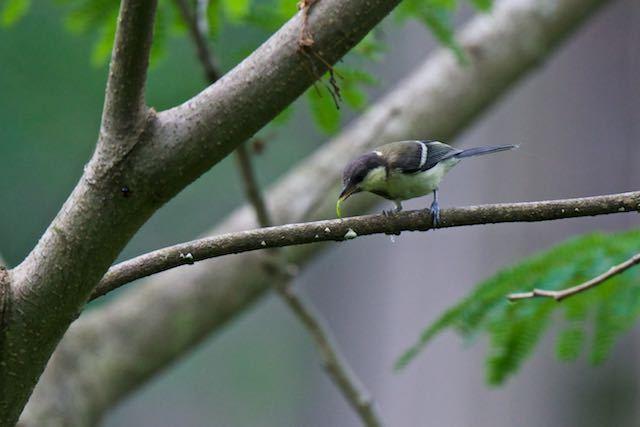 舞岡公園 幼虫を捕まえたシジュウカラ幼鳥 _DSC8878.jpg