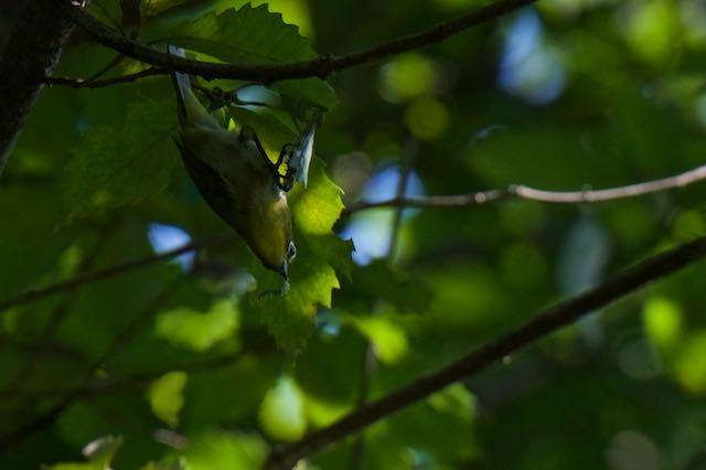 舞岡公園 幼虫を捕まえたメジロ _DSC8293.jpg