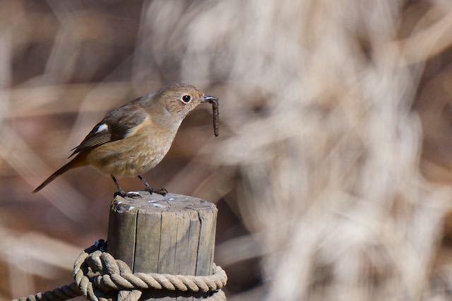 舞岡公園 幼虫を採食するジョウビタキ♀ _DSC2510.jpg