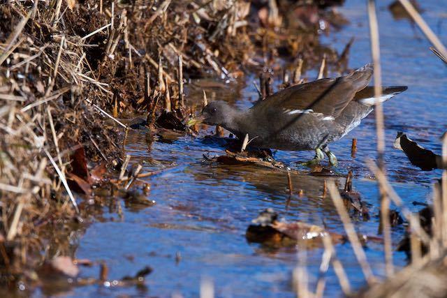 舞岡公園 水を飲むバン幼鳥 _DSC2250.jpg