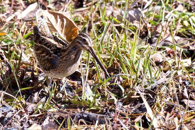 舞岡公園 湿地で採食していたタシギ _DSC7133.jpg