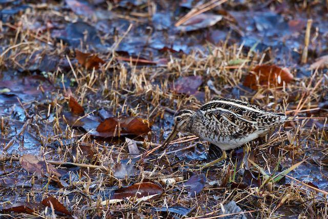 舞岡公園 湿地で採食するタシギ _DSC1867.jpg