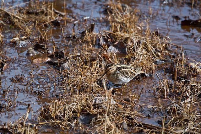 舞岡公園 湿地で採食するタシギ _DSC4796.jpg