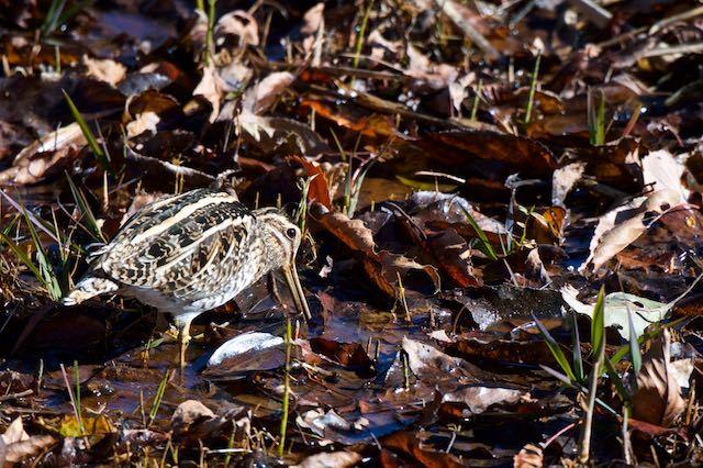 舞岡公園 湿地で採食するタシギ1 _DSC2339.jpg