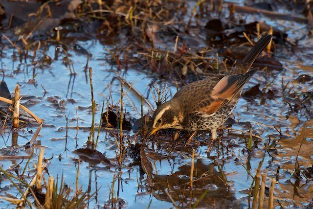 舞岡公園 湿地で採食するツグミ _DSC0942.jpg