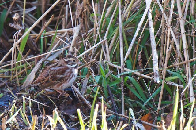 舞岡公園 湿地で見られたカシラダカ _DSC5610.jpg