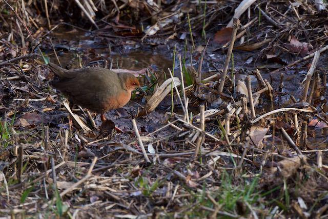 舞岡公園 湿地に出て来て採食していたヒクイナ _DSC4784.jpg