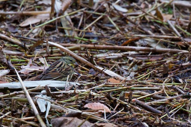 舞岡公園 瓜久保のカッパ池で採食するアオジ1 _DSC1122.jpg