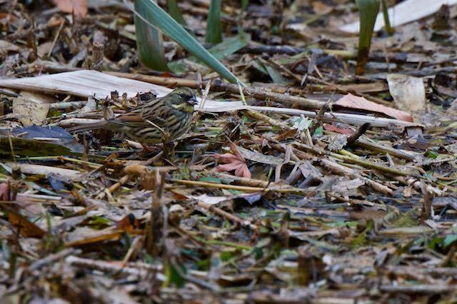 舞岡公園 瓜久保のカッパ池で採食するアオジ2 _DSC1108.jpg