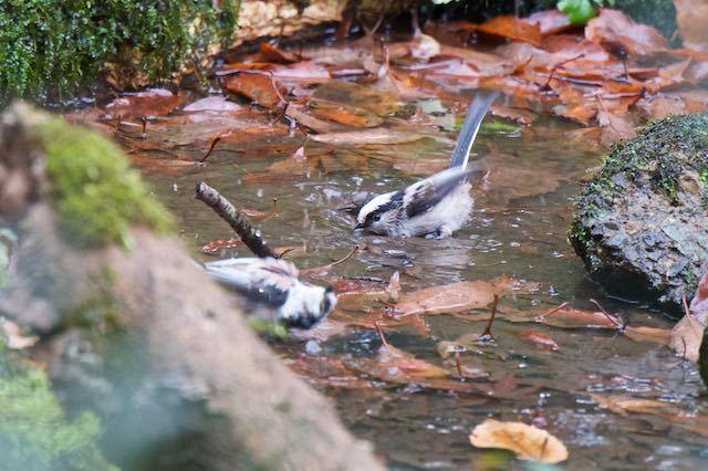 舞岡公園 瓜久保の水場で水浴びするエナガ _DSC5159.jpg