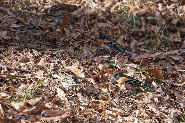 舞岡公園 群れで採食するアトリ _DSC4713.jpg