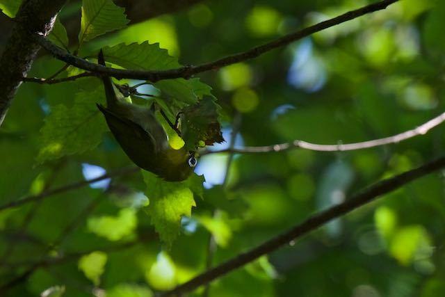 舞岡公園 葉の中を探すメジロ _DSC8285.jpg