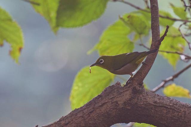 舞岡公園 虫を食べるメジロ _DSC4092.jpg