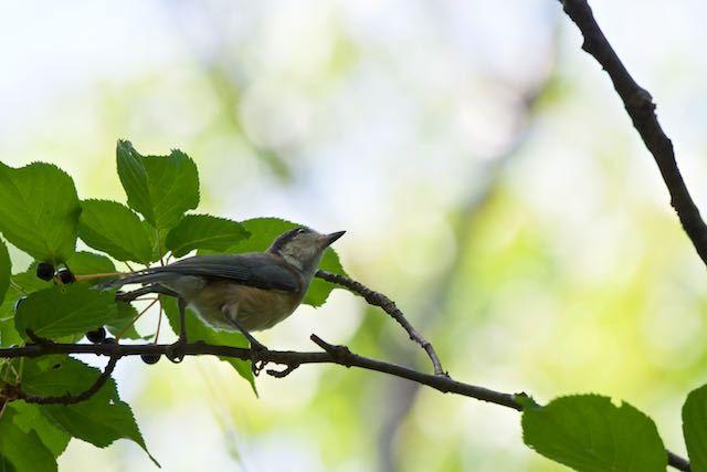 舞岡公園 見上げるヤマガラ幼鳥 _DSC7155.jpg