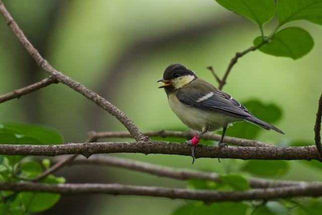 舞岡公園 赤いリングのついたシジュウカラ幼鳥 _DSC4445.jpg