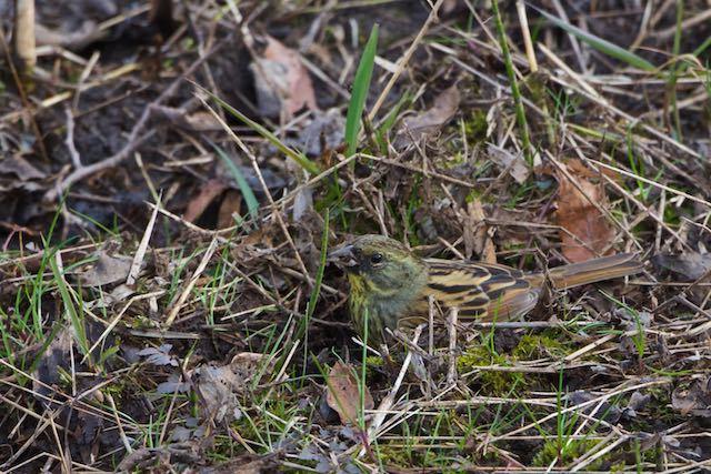 舞岡公園 雑草の種を採食するアオジ♂ _DSC4756.jpg