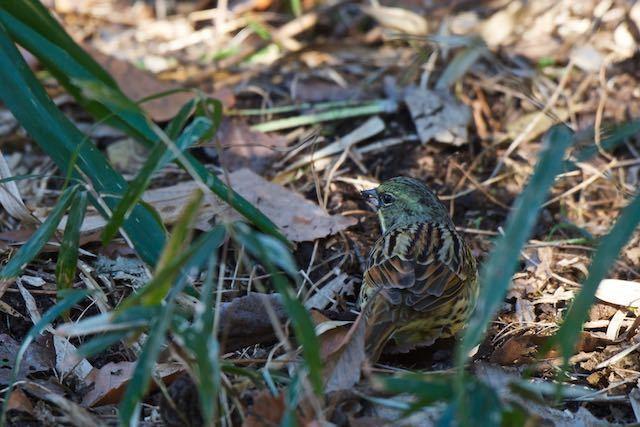 舞岡公園 雑草の種を採食するアオジ♂2 _DSC0713.jpg