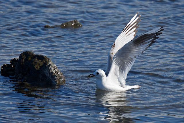 葛西臨海公園 カニを捕まえたズグロカモメ1 _DSC2620.jpg