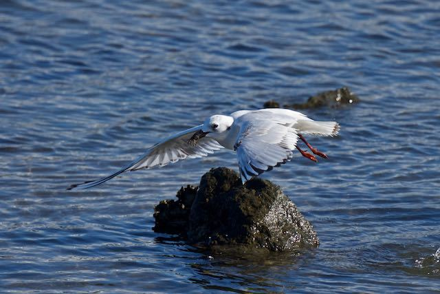 葛西臨海公園 カニを捕まえたズグロカモメ2 _DSC2623.jpg