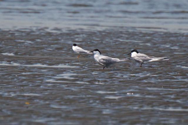 葛西臨海公園 コアジサシの群れの中にいた2羽のアジサシ _DSC6744.jpg