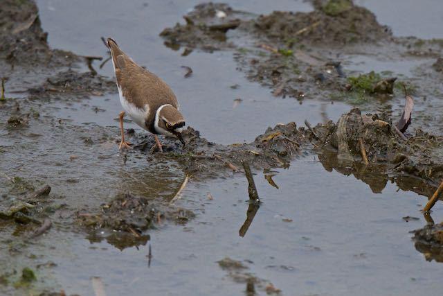 葛西臨海公園 タシギの近くでゴカイ類を引っ張り出すコチドリ _DSC8957.jpg