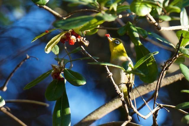 葛西臨海公園 トベラの実を食べるメジロ _DSC1806.jpg