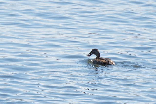 葛西臨海公園 ハゼを捕まえたカイツブリ _DSC0100.jpg