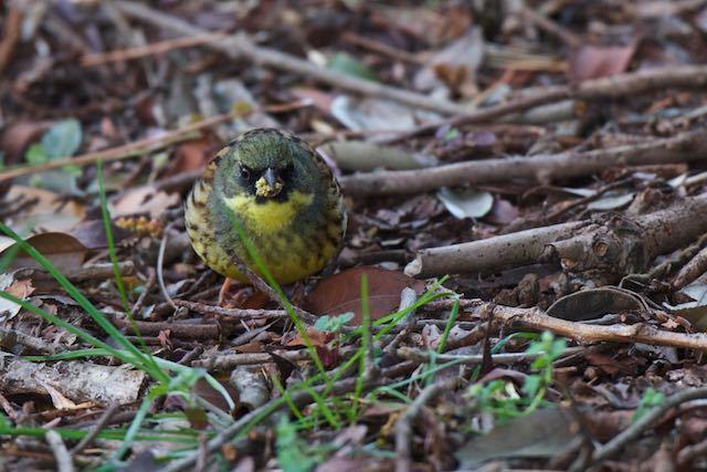 葛西臨海公園 地面に落ちたキブシを食べるアオジ♂ _DSC8376.jpg