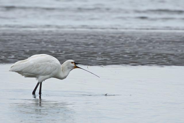 葛西臨海公園 小さなカレイのような魚を食べるヘラサギ _DSC7528.jpg