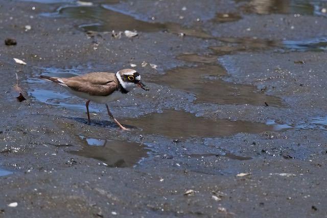葛西臨海公園 小さな獲物を捕まえたコチドリ2 _DSC5150.jpg
