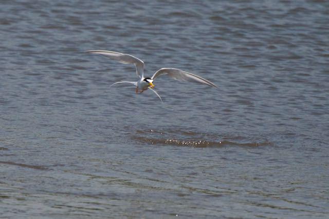 葛西臨海公園 小魚を捕まえたコアジサシ2 _DSC6951.jpg