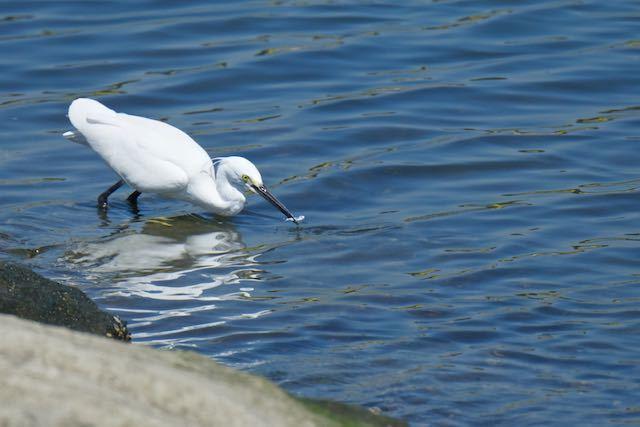 葛西臨海公園 小魚を捕まえたコサギ _DSC5088.jpg