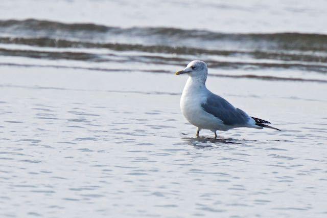 葛西臨海公園 干潟で休むカモメ _DSC4520.jpg