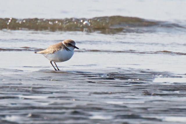 葛西臨海公園 干潟で採食していたシロチドリ _DSC4488.jpg
