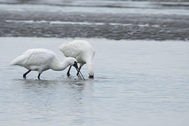 葛西臨海公園 採食中のクロツラヘラサギとヘラサギ _DSC7493.jpg