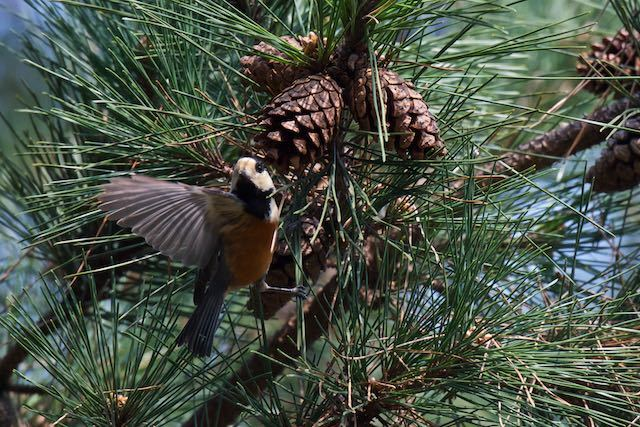 葛西臨海公園 松で採食していたヤマガラ _DSC8474.jpg