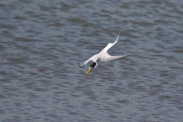 葛西臨海公園 水面に向かって飛び込むコアジサシ _DSC6966.jpg