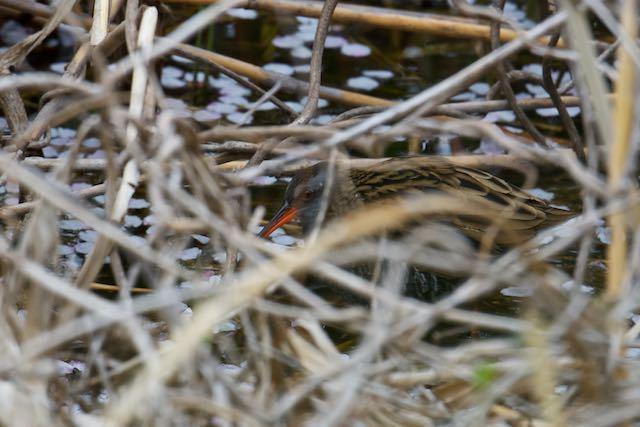 葛西臨海公園 淡水池の藪で見られたクイナ _DSC7688.jpg