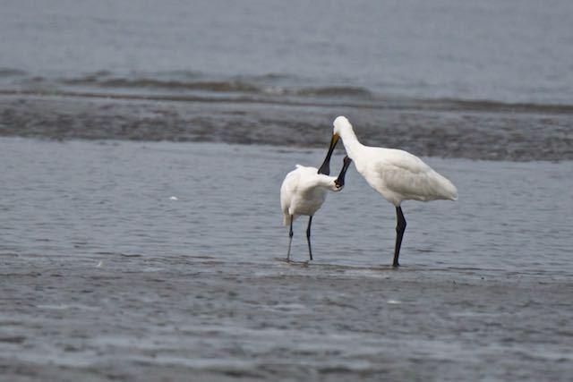 葛西臨海公園 相互羽繕いするクロツラヘラサギとヘラサギ _DSC8636.jpg