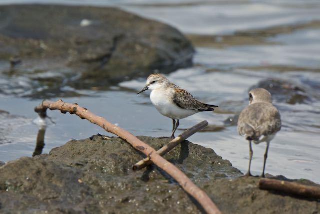 葛西臨海公園 石の上で休むミユビシギ幼鳥 _DSC1301.jpg