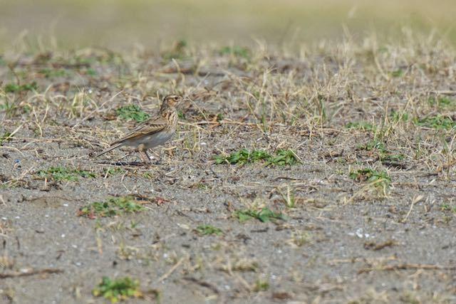 葛西臨海公園 草原で採食していたヒバリ _DSC4964.jpg