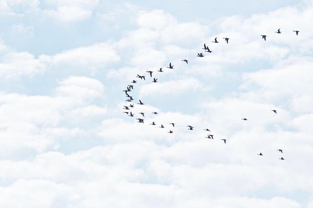 葛西臨海公園 葛西上空を飛んで行くヒドリガモの群れ _DSC5007.jpg