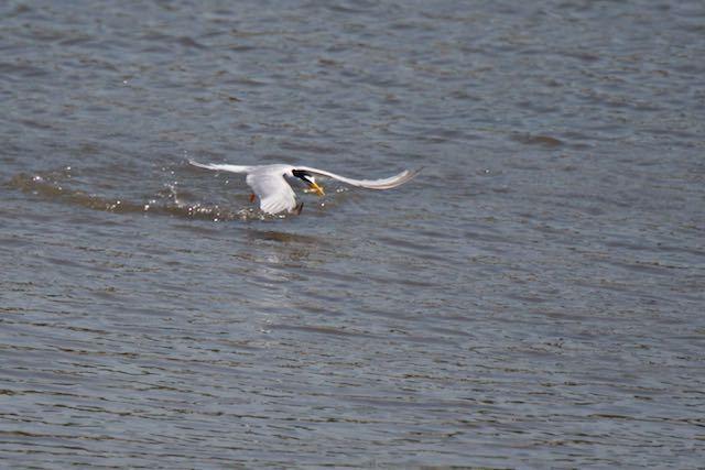 葛西臨海公園 見事に小魚をゲット1 _DSC6922.jpg