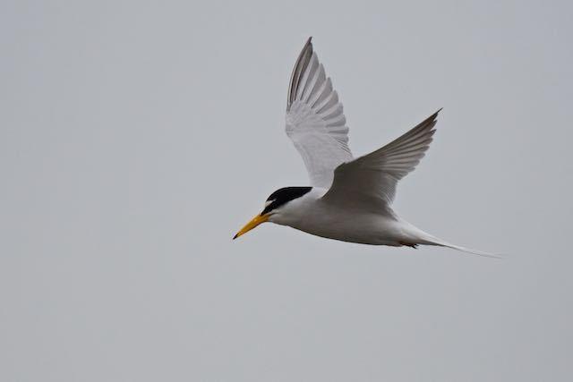 葛西臨海公園 飛んで来たコアジサシ _DSC0920.jpg